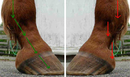 Forces acting on a hoof when the horse has the head down (left) Forces acting on the hoof with the head up (right)